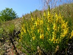 DyerS Greenweed (Genista tinctoria)